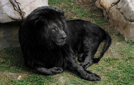 Melanismus – die dunkle Seite der Haarpracht