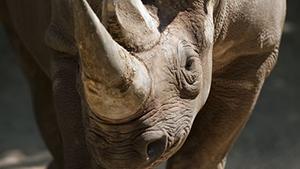 Nashorn Tierschutz Hangover cure Mittel gegen Kater eingeweichtes Horn