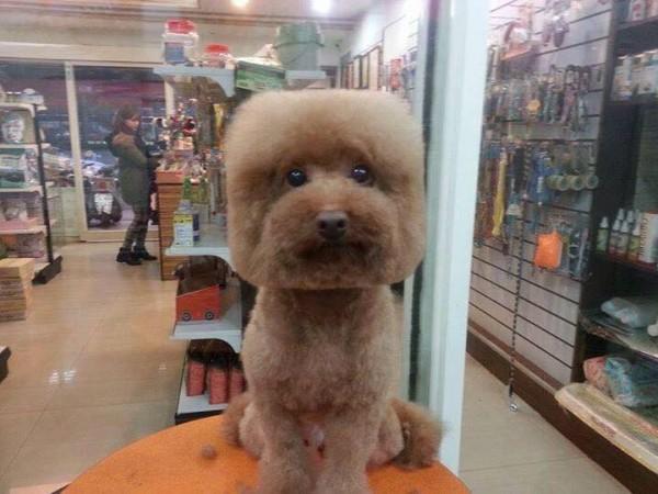 square-round-dog-haircut-taiwan-3