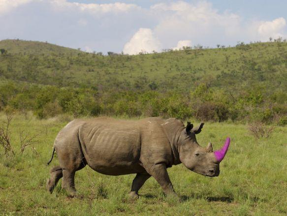 Nashorn retten Kampagne pinkes Horn Heinrich van den Berg/Getty