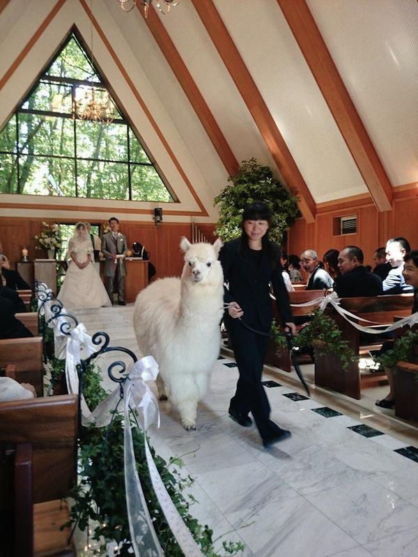japan alpaca Hochzeit