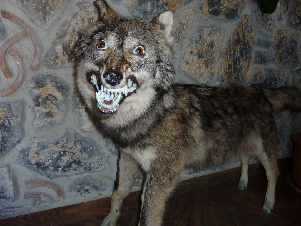 Ausgestopfter Wahnsinn Wolf