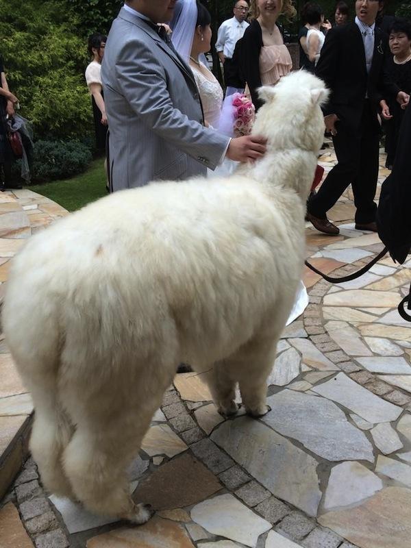 Alpaca Hochzeit