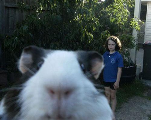 funny-animal-photobomb-guniea-pig1