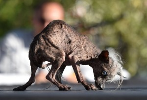 Sweepee Rambo, a Chinese Crested, is presented to judges during the World's Ugliest Dog Competition in Petaluma, California on June 26, 2015. Quasi Modo went on to win first prize as the ugliest dog in the competition.  AFP PHOTO/JOSH EDELSON