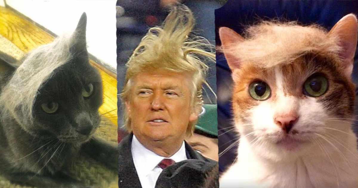 Trumpy Cats Katzen Mit Toupets Sleazemag
