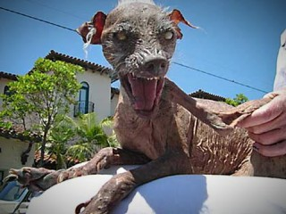 """Sam, der """"hässlichste Hund der Welt"""", aufgenommen im Juli 2005 in Santa Barbara (Kalifornien). Der fast nackte Rüde - der Rasse nach ein """"Chinesischer Schopfhund"""", der in den vergangenen drei Jahren den Wettbewerb als """"hässlichster Hund der Welt"""" gewonnen hat, ist im Alter von 14 Jahren gestorben. Wie der US-Sender CNN am Dienstag (22.11.2005) berichtete, ließ die kalifornische Hundebesitzerin Susie Lockheed ihren an Alters- und Herzschwäche leidenden Hund am vergangenen Wochenende in Santa Barbara einschläfern. Auftritte in TV-Shows machten den Vierbeiner berühmt. Sam hatte sogar eine eigene Webseite (samugliestdog.com), die dem Ansturm von Hunde-Fans aus aller Welt nicht immer gewachsen war und unter der Last der Hits häufig zusammenbrach. +++(c) dpa - Bildfunk+++"""