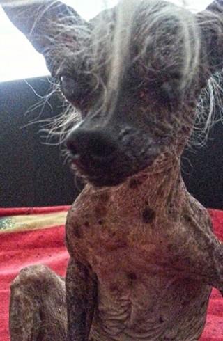 Ugly Dogs Shutterstock schreckliche frisuren Hunde tiere