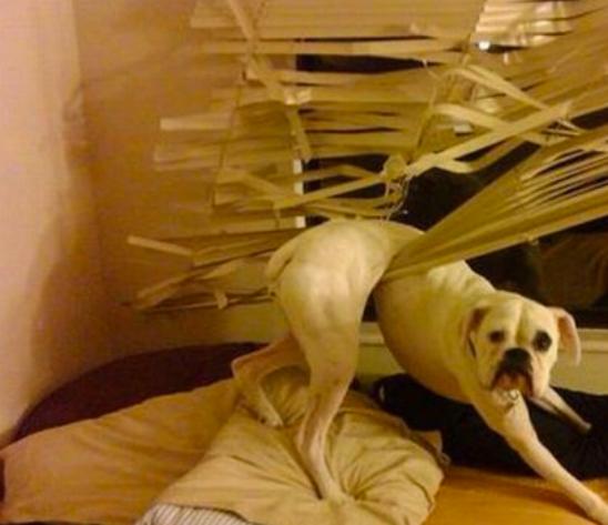 hund hängt in vorhängen lustig