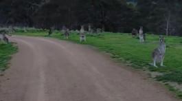 gruselige Zombie-Kängurus