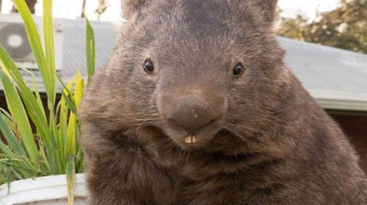 Paddy der Wombat
