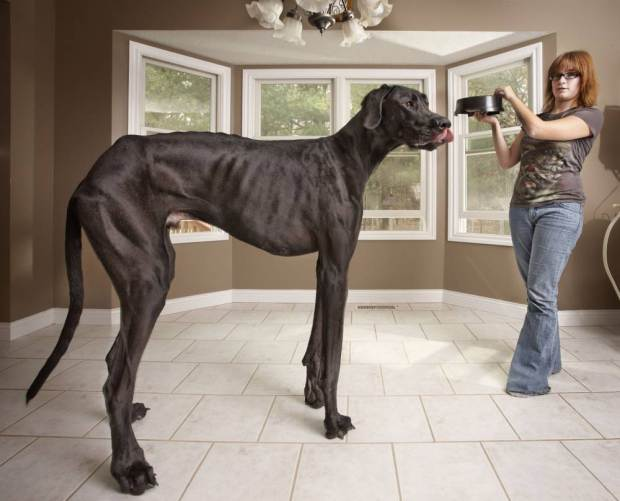 Undated handout photo issued by Guinness World Records of Zeus the Great Dane dog, who is both the tallest male dog and the tallest dog ever, as the Guinness World Records celebrates its 60th anniversary. PRESS ASSOCIATION Photo. Issue date: Thursday August 27, 2015. 60 years on, over 134 million copies have been sold in 21 languages, in more than 100 countries. See PA story SOCIAL Guinness. Photo credit should read: Kevin Scott Ramos/Guinness World Records/PA Wire NOTE TO EDITORS: This handout photo may only be used in for editorial reporting purposes for the contemporaneous illustration of events, things or the people in the image or facts mentioned in the caption. Reuse of the picture may require further permission from the copyright holder.