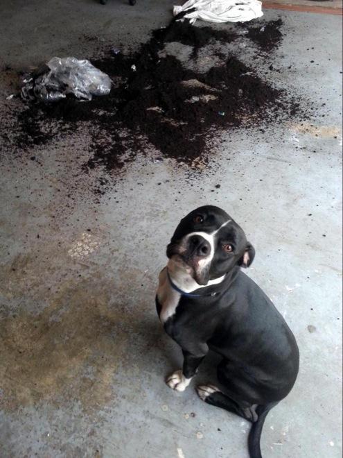 schuldige tiere hund zerstört dinge