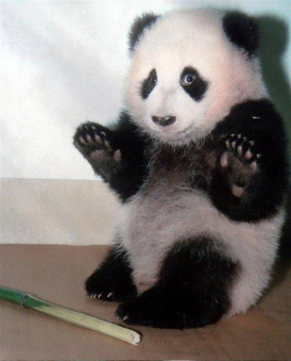 panda schuldig schlechtes gewissen süß