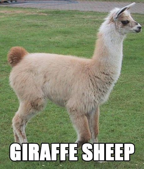 Giraffe Sheep