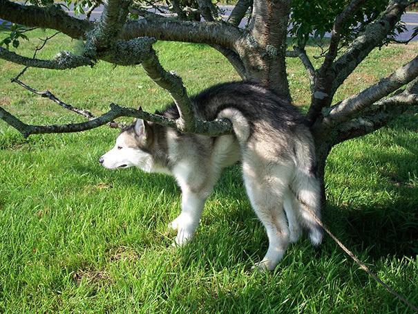 hund hängt auf ast husky lustig