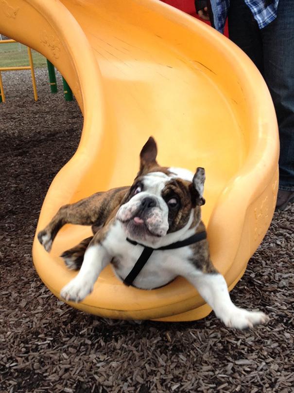 bemitleidenswerte hunde bulldogge hat angst vor rutsche