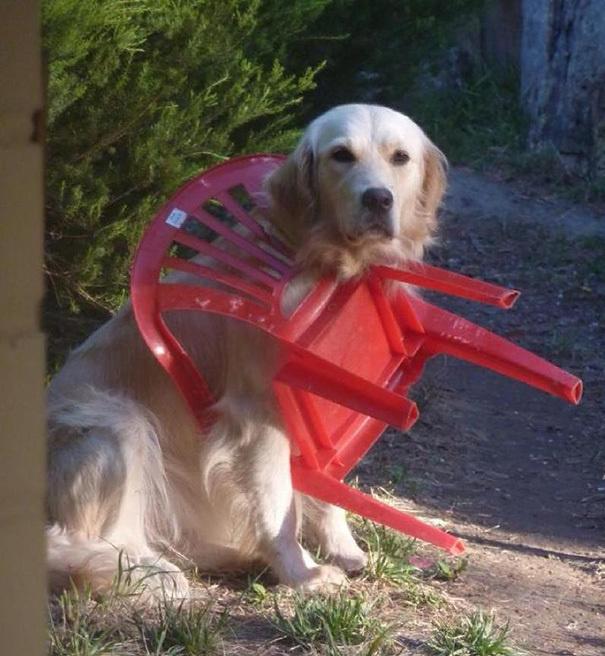 lustige hundebilder hund steckt in plastikstuhl fest goldenretriever