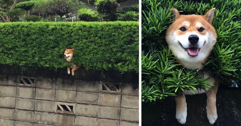 hund hängt in hecke lustig