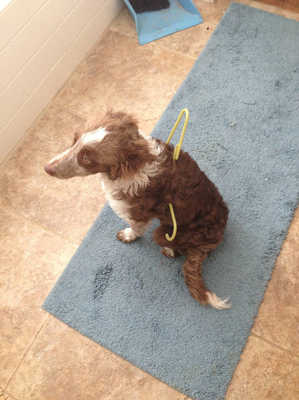 hund hängt in kleiderbügel lustige hundeunfälle