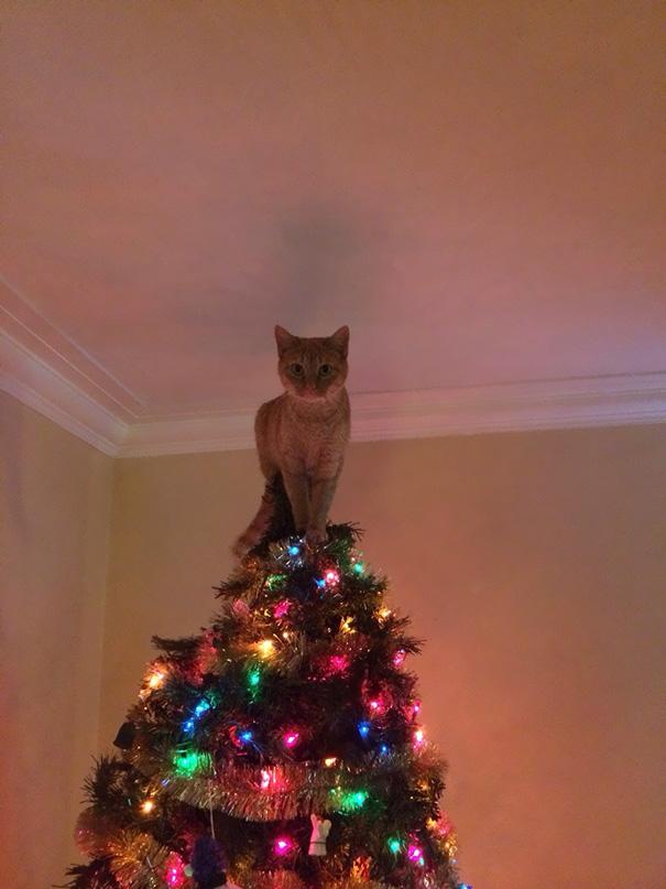 Katze und Weihnachtsbäume