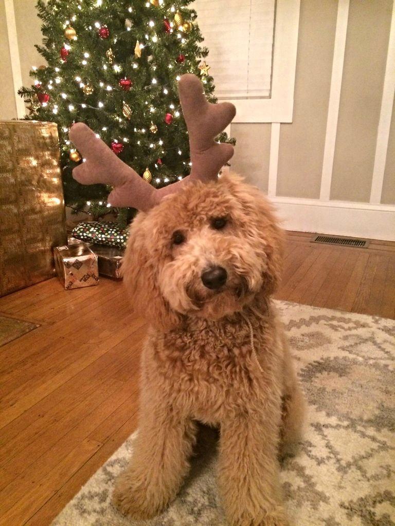 tiere und weihnachten hund geweih