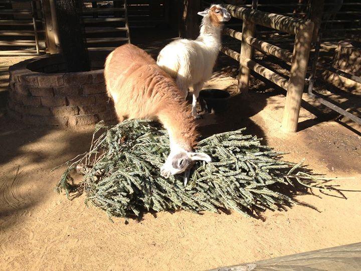 tiere und weihnachten fressende lamas