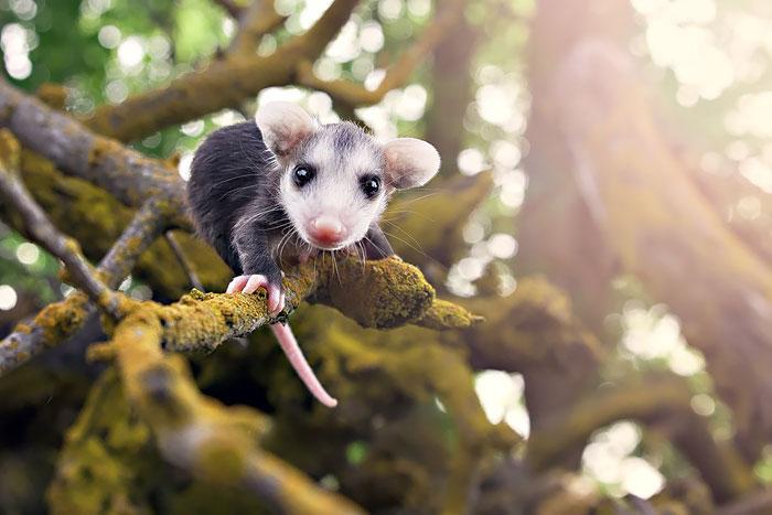 Babyopossums