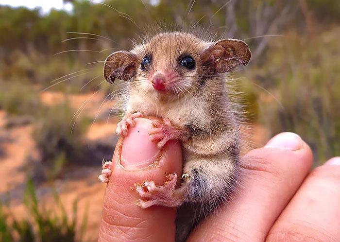 Babyopossums kleine Opossums
