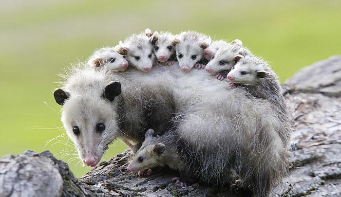 opossumfamilie mutter und babies