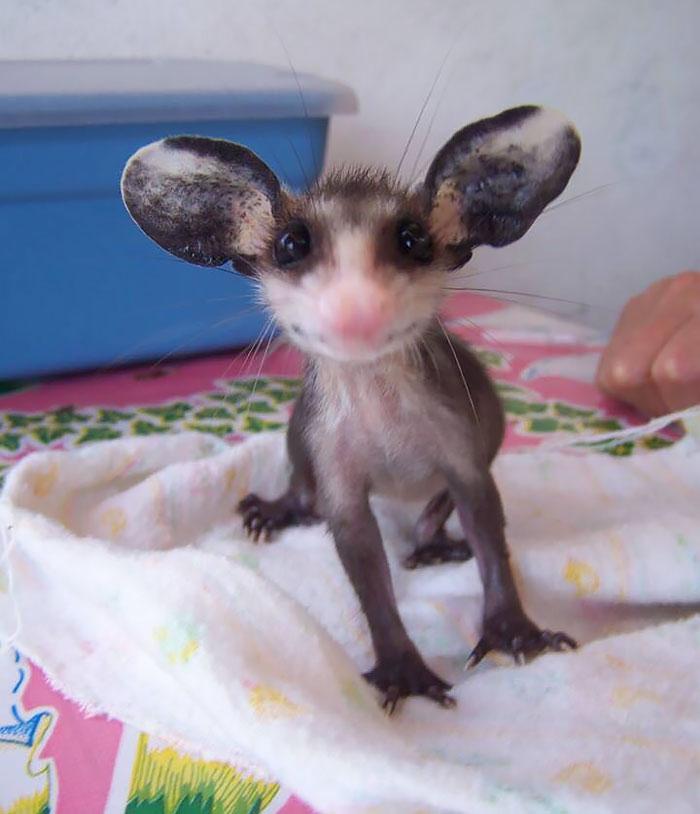 Babyopossums süße opossumbilder