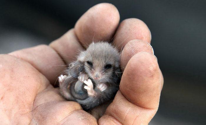 winziges opossum süß