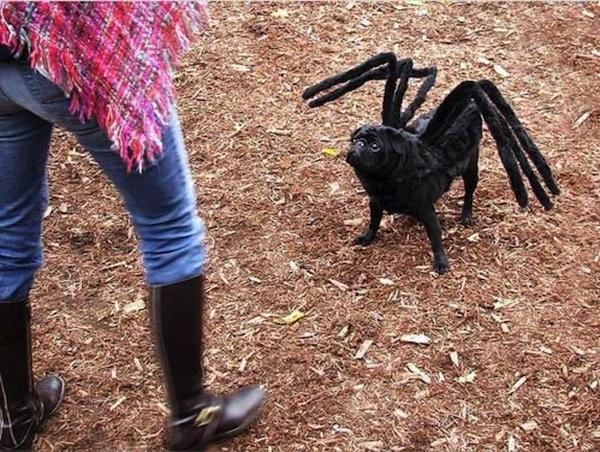 spiderpug hundekostüm hund als spinne verkleidet