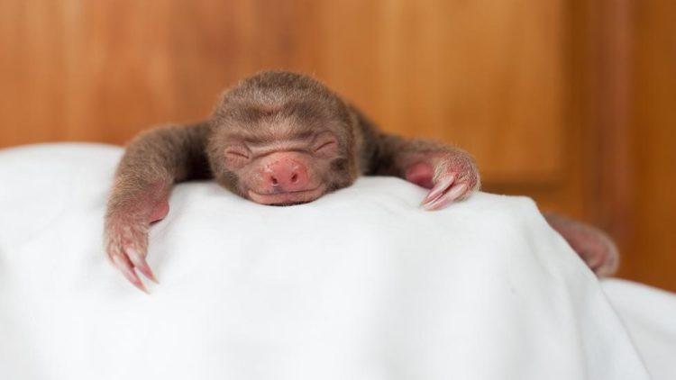 Sam trull Faultier Baby Slothlove