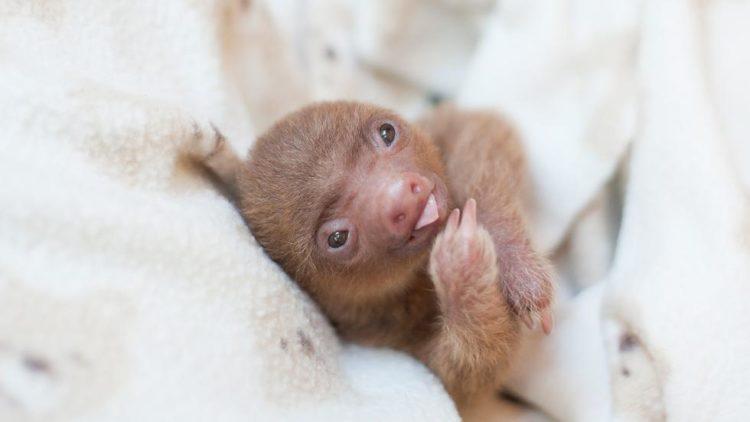 Sam trull Baby-Faultiere süß