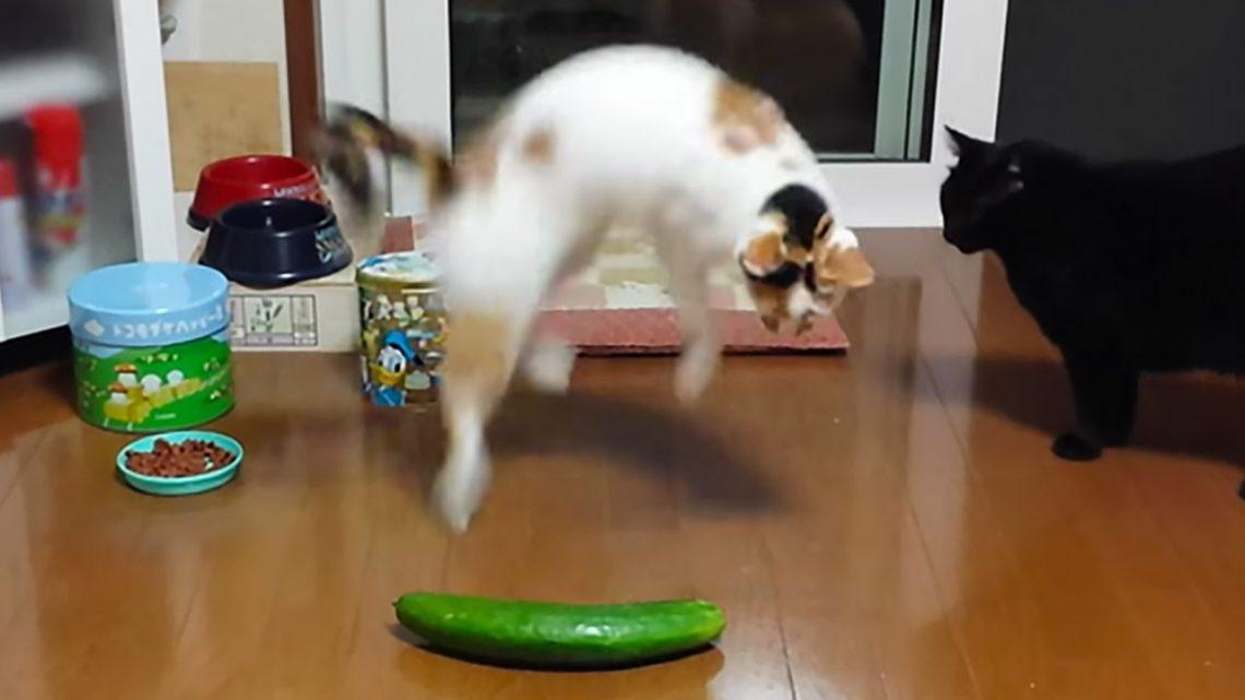 Katzen vs Gurken