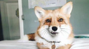 10 niedliche Füchse auf Instagram