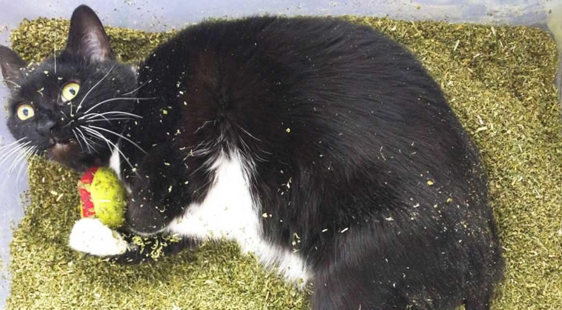 Katze im Vollrausch Stoner Katze Katzenminze ungefährlich