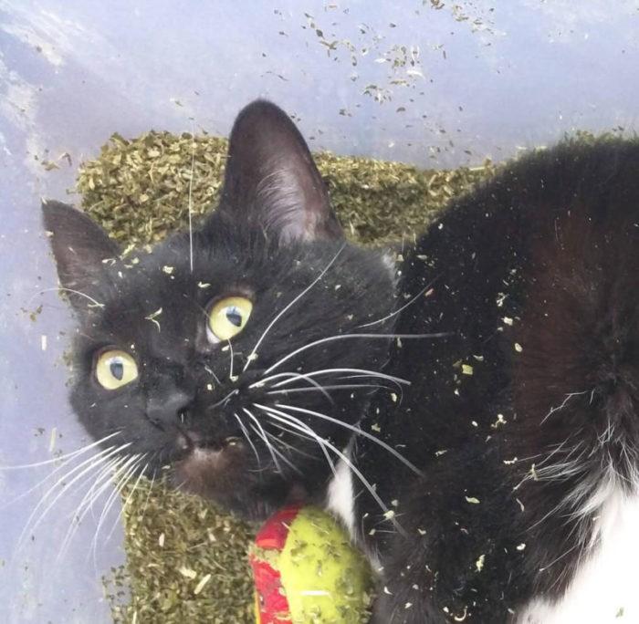 Katze im Vollrausch Catnip Katzenminze Effekt Stoner