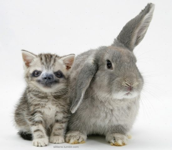 Silver tabby kitten with grey windmill-eared rabbit