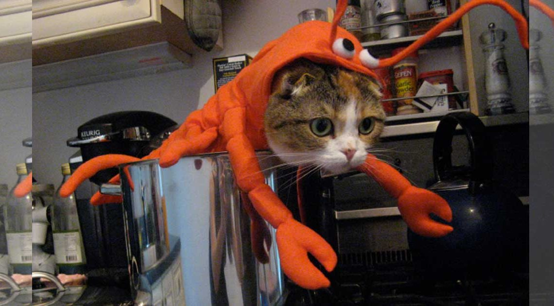 halloweenkostüme für katzen lobstercat